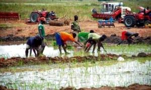Farmers planting rice in Lokoja, Kogi State.
