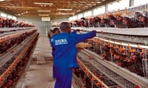 Inside the poultry at Songhai Rivers Initiative Farm. Photo: RSSDA