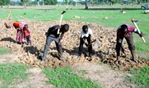 Rice farmers working in their farms along Mulak Dandanko in Bauchi, recently.