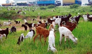 Livestock being transported for sale, grazing in Zaria last Thursday, due to curfew in Kaduna State that has been lifted.