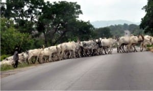 Cattle rearing: Cows crossing the Nasarawa-Benue express way on Friday