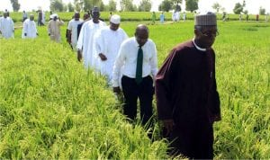Minister of Agriculture and Rural Development, Chief Audu Ogbeh (front), leading the Governor of Central Bank of Nigeria, Mr Godwin Emefiele (second), Governor Atiku Bagudu of Kebbi State and other officials on inspection of rice farms under the anchor borrowers programme in Suru Local Government Area of Kebbi State, recently.