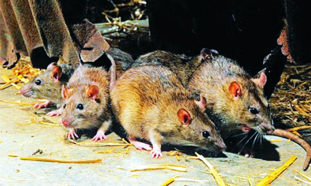 Edo Intensifies Effort In Curb Spread Of Lassa Fever