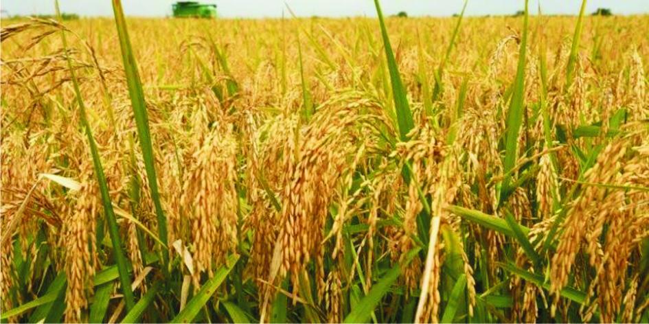 Cattle Destroy N17m Rice Farm In Enugu